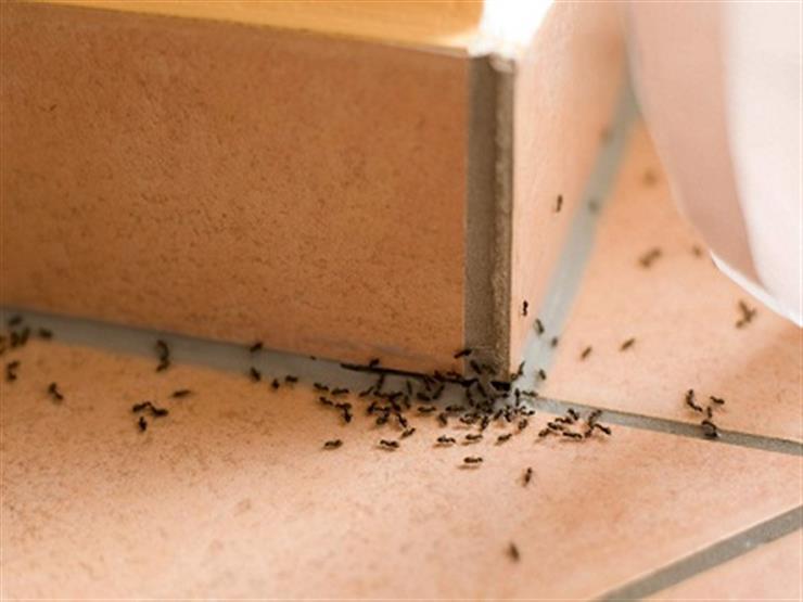 بالقرفة والخل.. 5 حيل للتخلص من نمل الصيف بمكونات من مطبخك