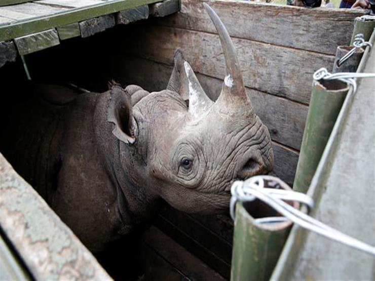 """بسبب عملية نقل فاشلة.. نفوق 8 من """"وحيد القرن"""" النادر في كينيا"""