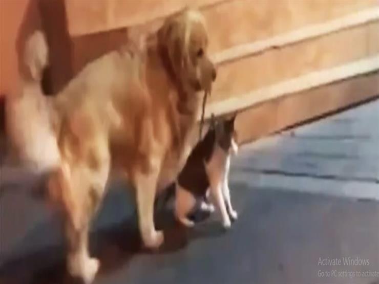 كلب يفض شجارًا بين قطين أحدهما صديقه (فيديو)