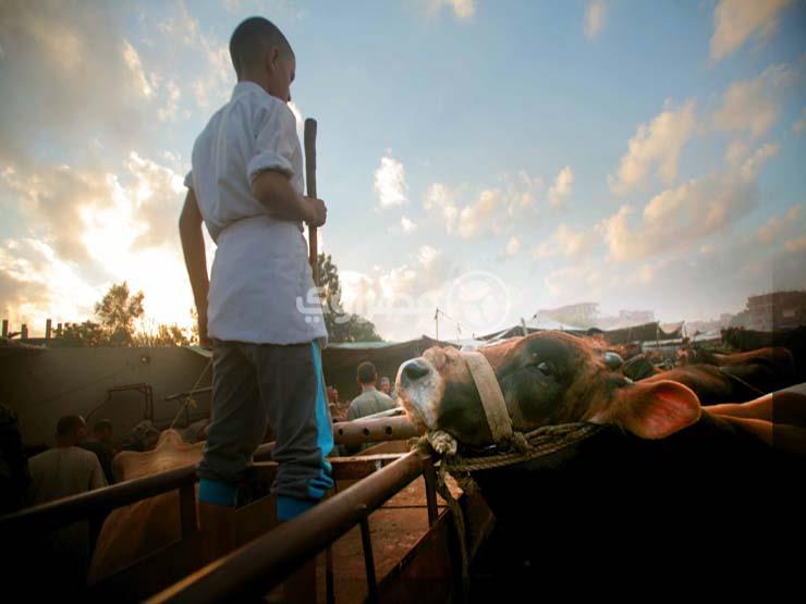 """بالصور - كرنفال """"المواشي"""".. زحمة في سوق أشمون قبل عيد الأضحى"""