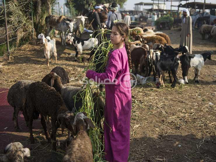"""""""فتاة الرداء البنفسجي"""" داخل سوق المواشي بالجيزة"""