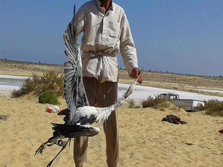 انطلاق موسم صيد السمان والبط الشرشير في شمال سيناء