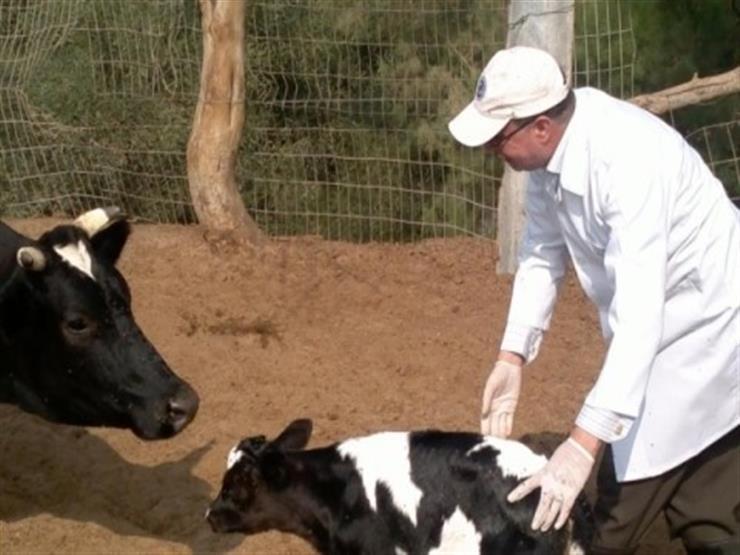 """""""بيطري الإسكندرية"""": تحصين 6 آلاف رأس ماشية ضد الحمى القلاعية والوادي المتصدع"""