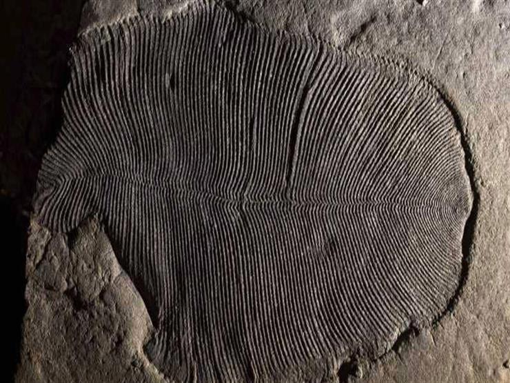 """""""عمرها 558 مليون سنة"""".. أحافير """"محيّرة""""  تكشف عن أحد أقدم مخلوقات الكون"""