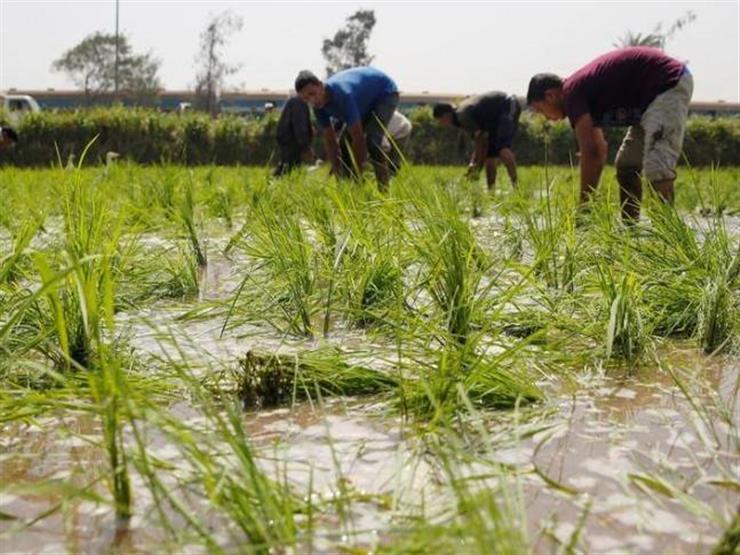 تقرير أمريكي يتوقع تراجع إنتاج مصر من الأرز 15% خلال الموسم الجاري