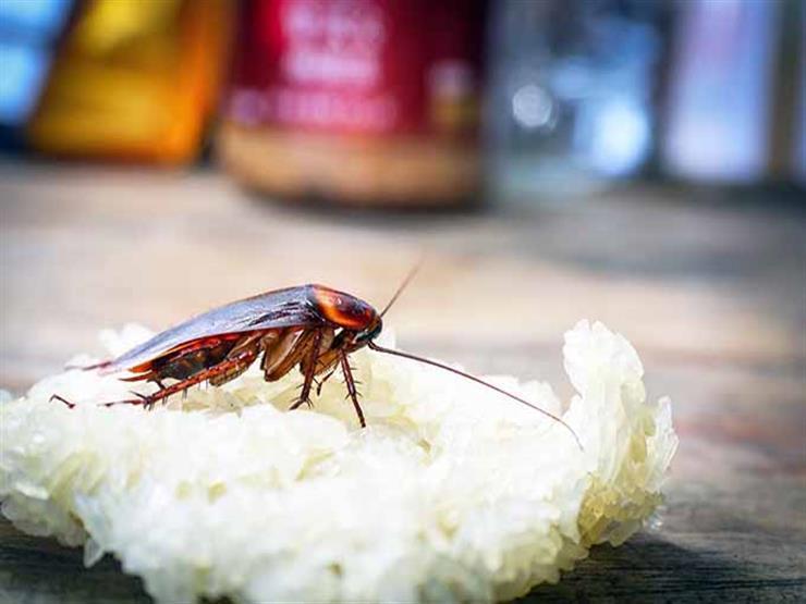 لماذا تظهر الصراصير في المطبخ؟.. وهذه هى الطريقة الفعالة للتخلص منها