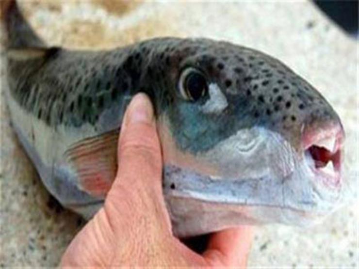 """ليس لها مصل مضاد.. """"طب الإسكندرية"""" يحذر من """"سمكة قاتلة"""" تباع بالأسواق"""
