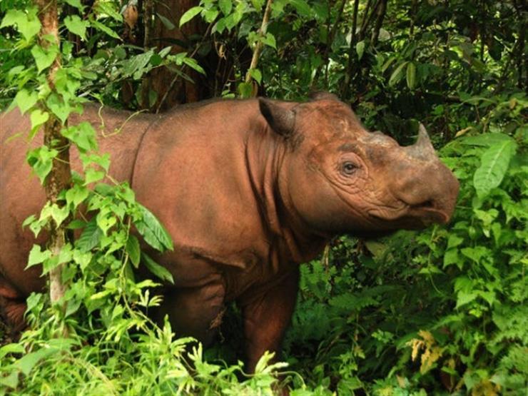 لإنقاذه من الانقراض.. سحب بويضة آخر أنثى لحيوان وحيد القرن السومطري