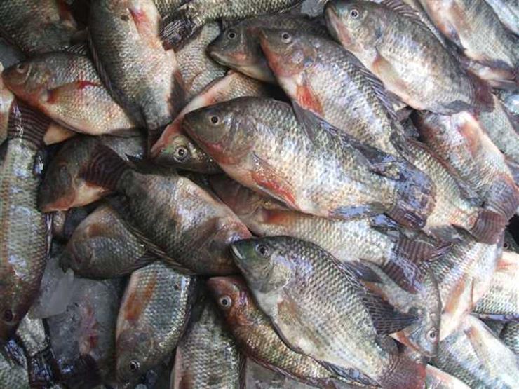 الحكومة ترد على مزاعم إصابة أسماك البلطي بميكروبات وديدان