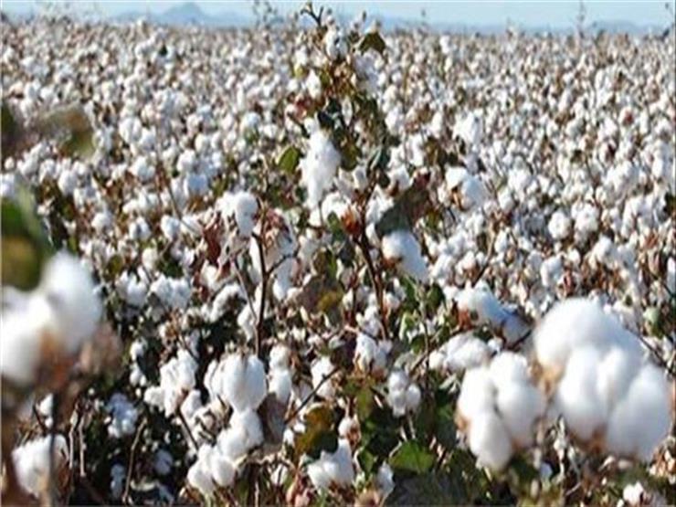 زراعة المنوفية: حصاد القطن وصل 100% من المحصول