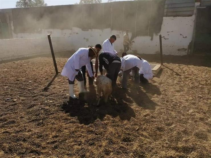 """تحصين 59 ألف رأس ماشية ضد """"الحمى القلاعية والوادي المتصدع"""" في بني سويف"""