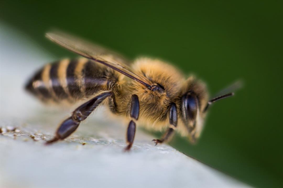 طريقة جديدة لعلاج الضغط المرتفع باستخدام النحل.. تعرفوا عليها