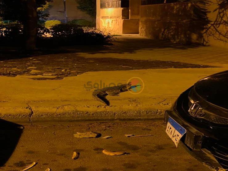 """""""تمساح في نص الشارع"""".. تفاصيل صورة أثارت رعب أهالي أكتوبر"""