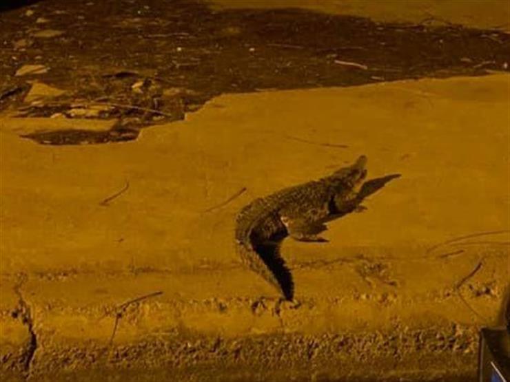 """""""ابعد ليجيب رجلك"""".. كيف تعامل أهالي أكتوبر مع تمساح الحي السابع؟ (فيديو)"""