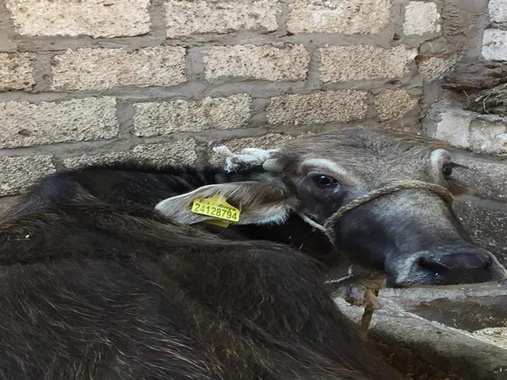 تحصين 66 ألف رأس ماشية ضد الحمى القلاعية والوادي المتصدع بالمنيا