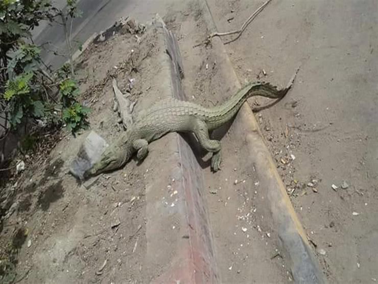 """مدير حديقة الحيوان يكشف تفاصيل العثور على تمساح بـ""""المهندسين"""""""