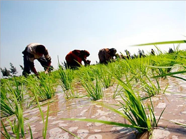 متحدث الزراعة: زيادة مساحة الأرز بأصناف تتحمل الجفاف والمياه المالحة
