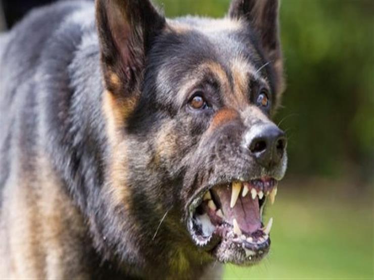 """35 ألف و900 ضحية في سنة.. الكلاب تهدد حياة الشراقوة و""""الصحة"""" توجه رسالة للأهالي"""