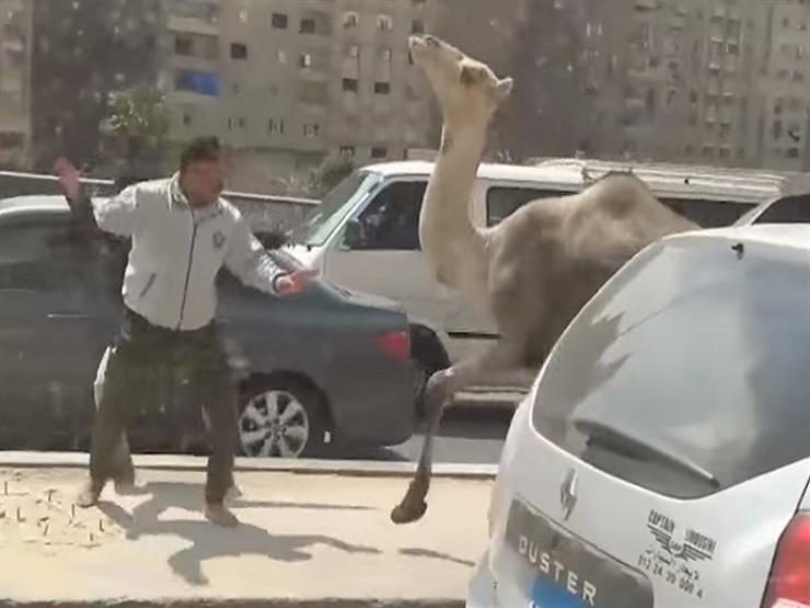 """""""إيه اللي بيحصل ده؟!"""".. رضوان معلقًا على """"جمل"""" يتجول بين السيارات على المحور"""