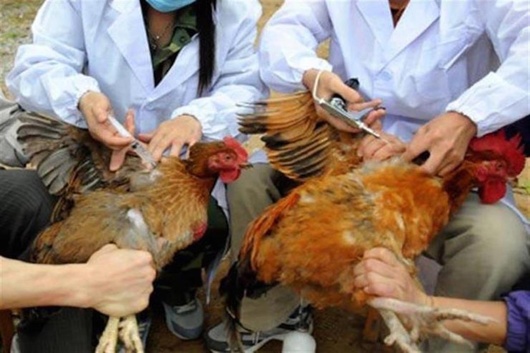 """Résultat de recherche d'images pour """"انفلونزا الطيور"""""""