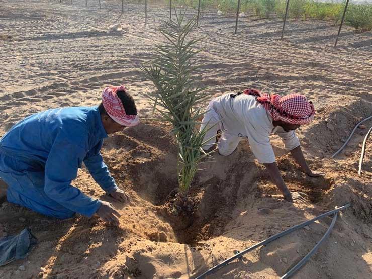 على مساحة 200 ألف فدان.. تفاصيل المرحلة الأولى من مبادرة زراعة النخيل بالوادي الجديد
