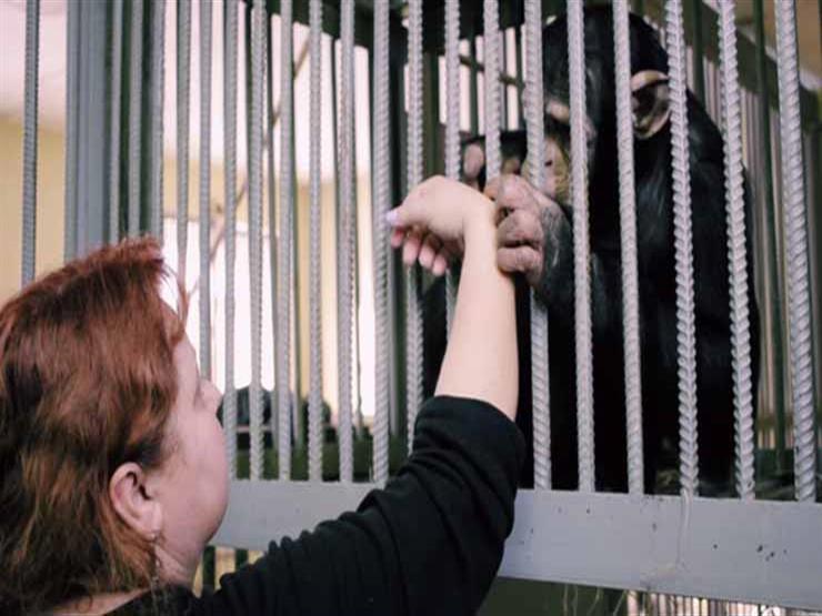 """بالصور- حدائق الحيوان تفتقد """"هيلدا"""".. كرست حياتها لـ""""الشمبانزي"""" بالعالم ومصر"""
