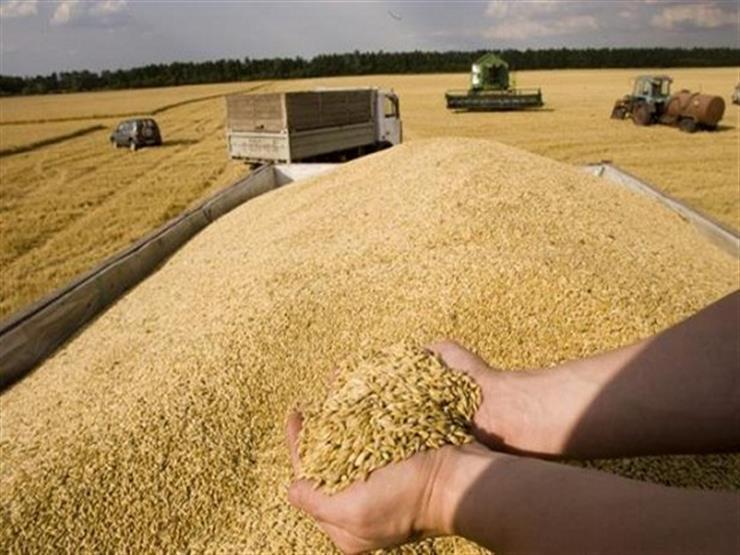 زراعة الإسكندرية: حصاد 58 ألف فدان قمح