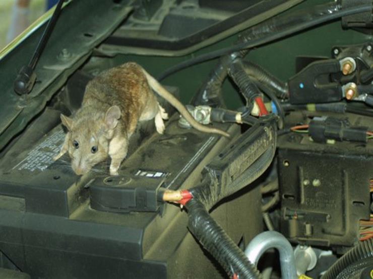 هجمات الفئران ضد محرك السيارة قد يعرضها للاشتعال.. كيف يمكن محاربتها؟