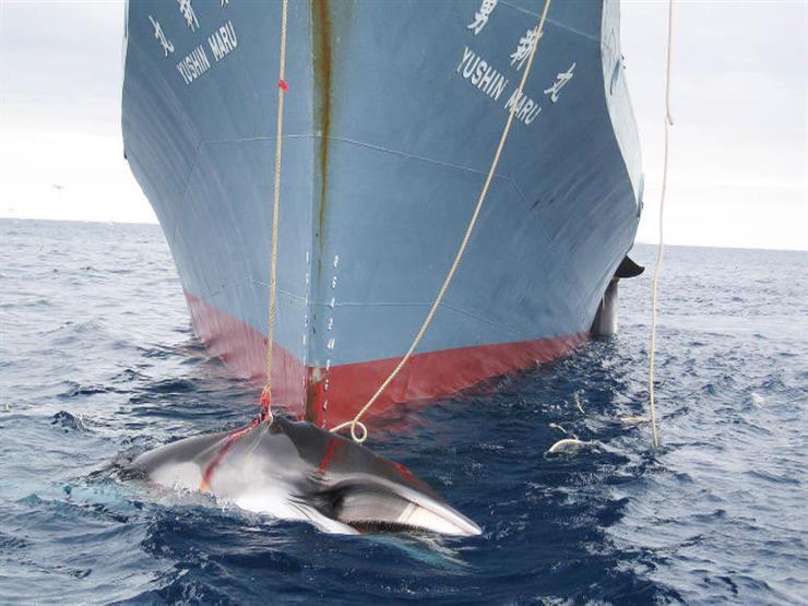 اليابان تبدأ الجولة الأخيرة من صيد الحيتان للأغراض البحثية قبالة ساحل المحيط الهادئ