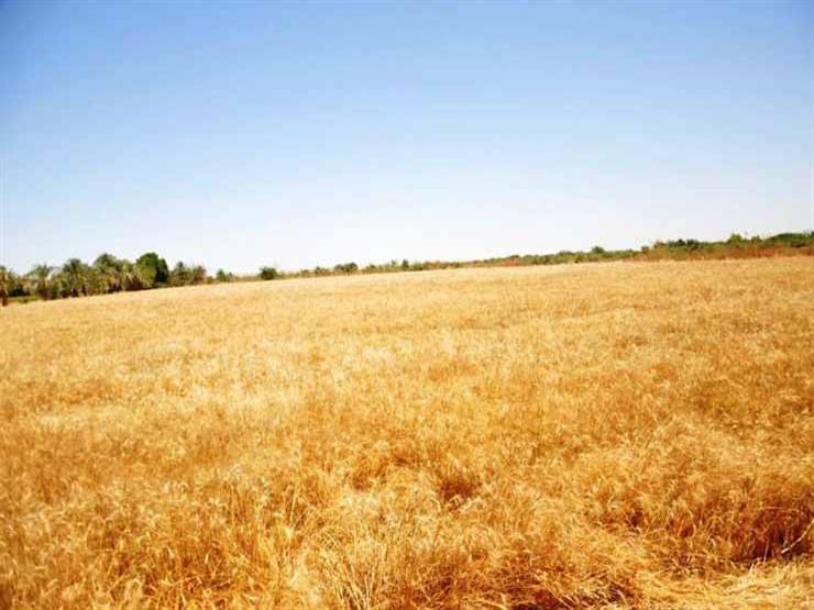 زراعة بورسعيد: 16.75 أردب إنتاجية فدان القمح بالمحافظة