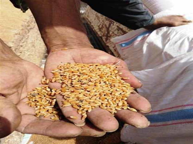 """""""الزراعة"""" تحسم الجدل: لا زيادة في أسعار تقاوي المحاصيل الشتوية"""