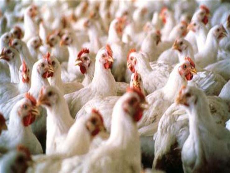 شعبة الدواجن تجتمع الأسبوع المقبل لبحث تطبيق آليات حظر بيع الطيور الحية