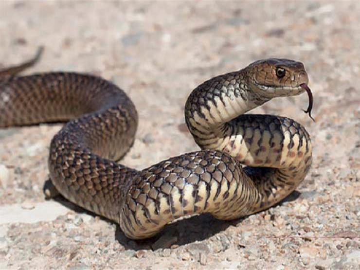 هجوم جديد للثعابين.. مصرع ربة منزل لدغها ثعبان في المنوفية