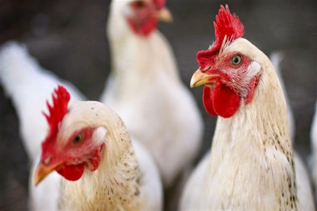 الحكومة تنفي ظهور حالات مصابة بسلالة جديدة من أنفلونزا الطيور