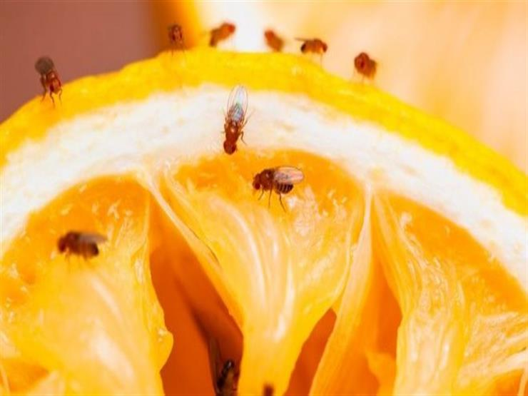 مع ارتفاع درجات الحرارة.. إليك طرق فعالة للتخلص من ذباب الفاكهة (الهاموش)؟
