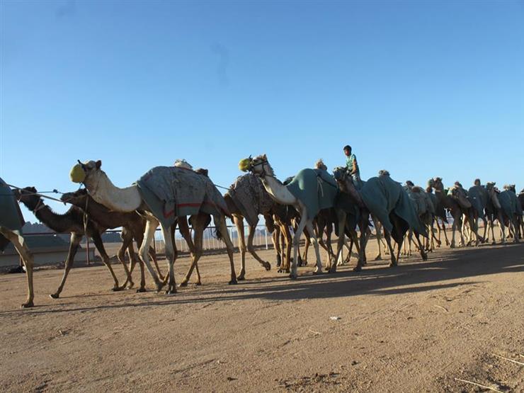 """معسكر لـ""""الهجن"""" بنويبع استعدادًا لسباق ولي العهد السعودي"""