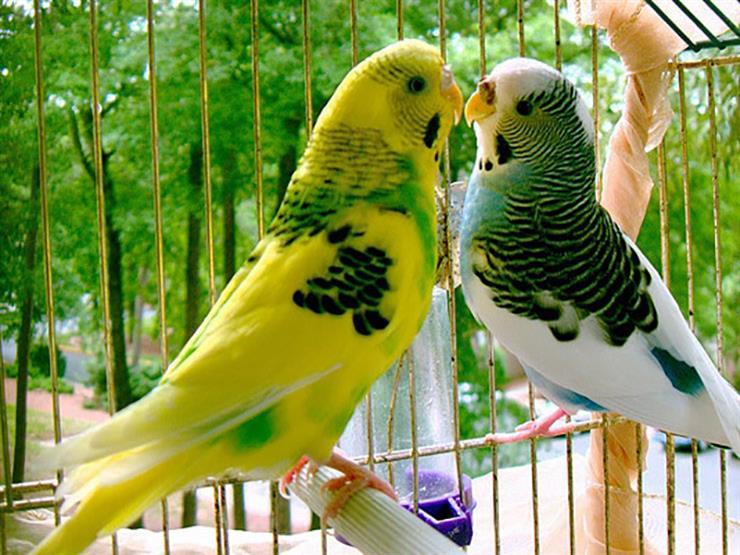 بالفيديو| تعرف على حكم تربية طيور الزينة من أمين الفتوى