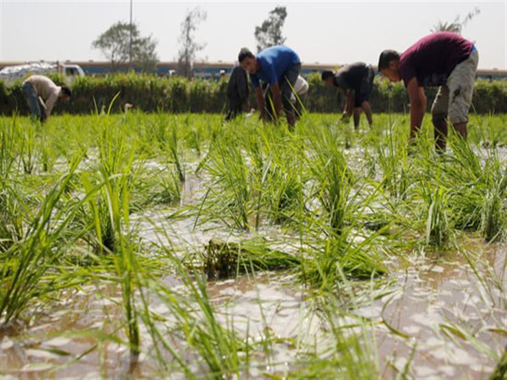 مسؤول يكشف المساحة النهائية لزراعة الأرز بعد انتهاء الموسم