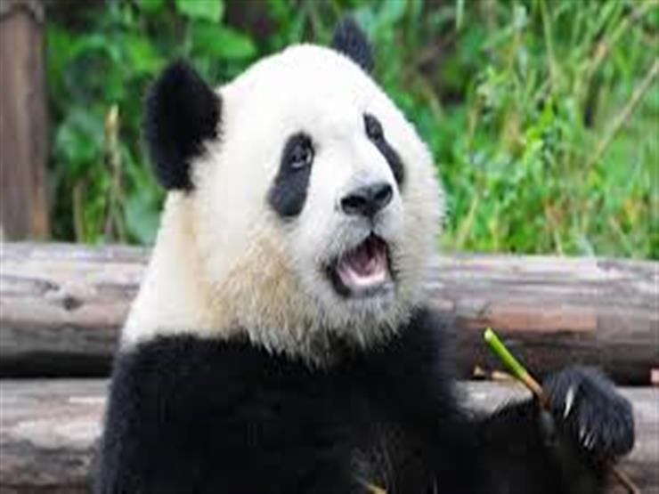 المدن اليابانية تتنافس لاستضافة الباندا العملاقة