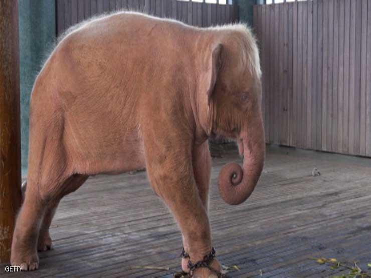 شاهد.. إعجاب الملايين بشهامة فيل صغير تجاه فتى يغرق