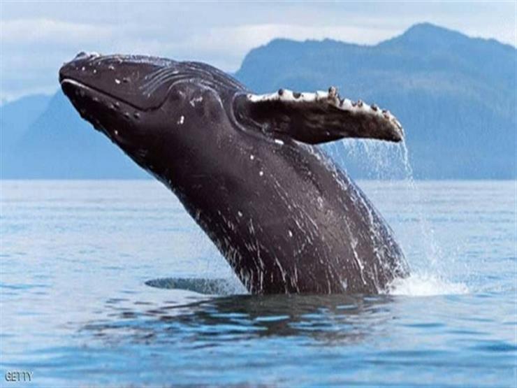 """دراسة: الحيتان الحدباء تتجمع سنويا في """"مسابقة غنائية"""""""