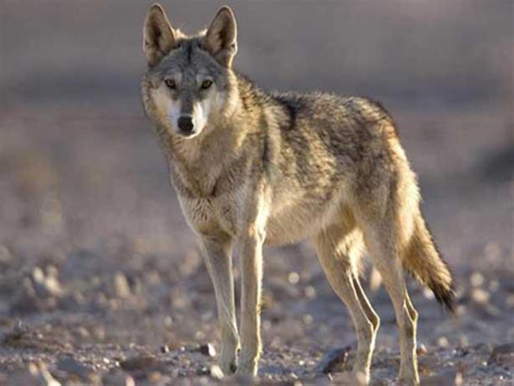 ذئب يشهد للنبي بالرسالة.. ما هي قصته؟