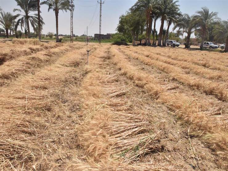 تموين كفر الشيخ: توريد 154 ألف طن قمح منذ بداية موسم الحصاد