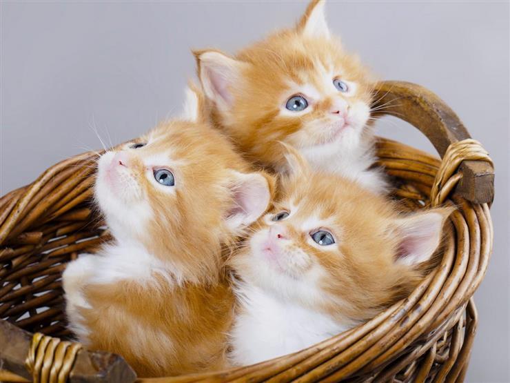 """خبر سيئ جديد.. """"كورونا"""" يصيب القطط أيضًا"""
