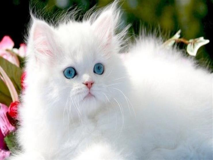 دراسة يابانية: فيروس كورونا لا ينتقل من القطط إلى البشر