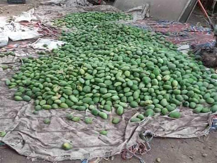 خبير اقتصادي: خسائر مزارعي المانجو بأسوان بسبب العاصفة الترابية تصل لمليار جنيه