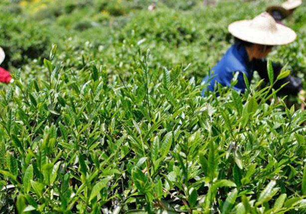شاي داهونج باو الشاي الأغلى على الإطلاق في العالم