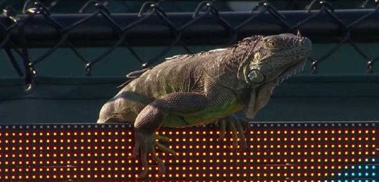 حيوان يقتحم ملعب تنس