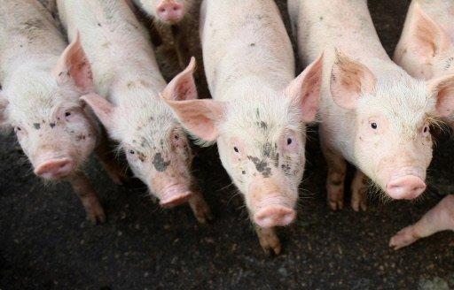 تقرير أمريكي: مصر والإمارات والبحرين تستورد لحوم الخنازير الأمريكية Photo_1240855212807-1-0
